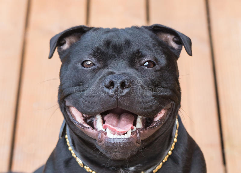 Smile on a happy staffordshire bull terrier dog stock images
