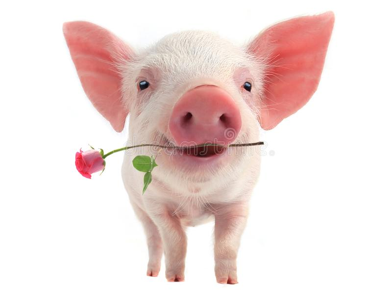 Smile pig stock photos