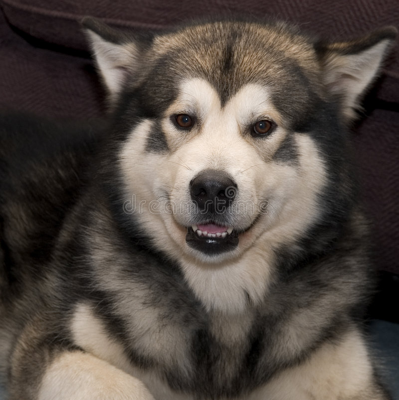 Download Smile please stock photo. Image of smile, husky, wolf, siberian - 131886