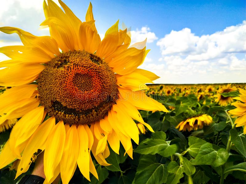 Smile on sunflower in the middle field stock photo