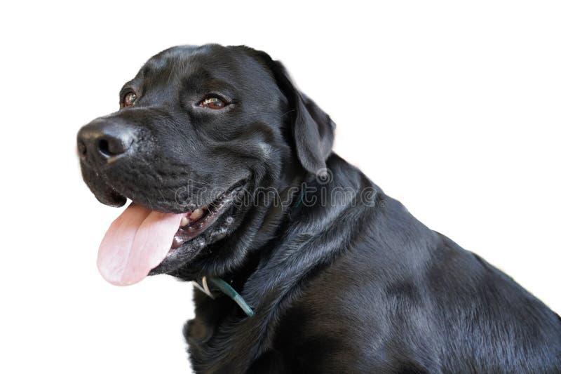 smile young black labrador stock image