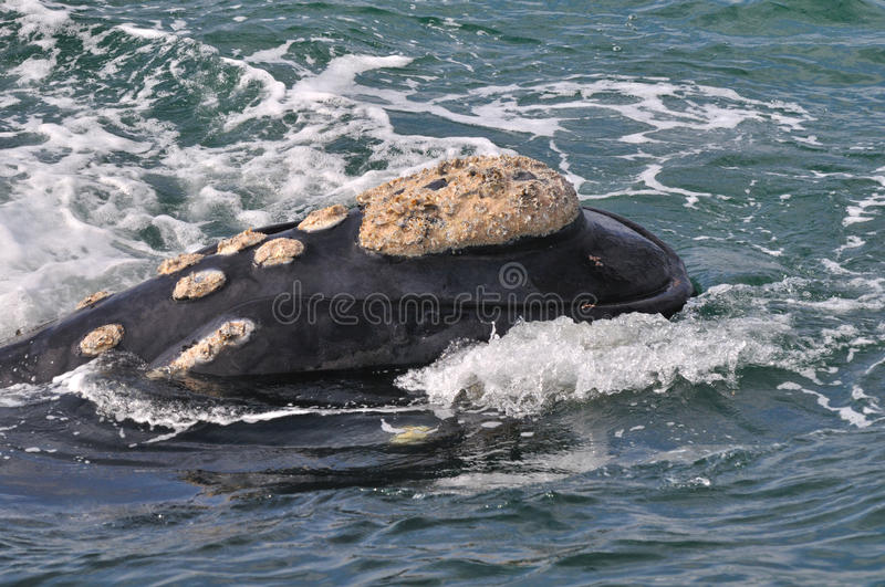 Smiley face. A Southern right whale head showing it's calositie patern stock images