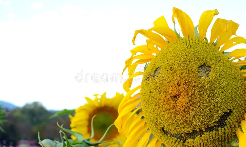 Smiley Face Sun Flower. In the Field stock photography