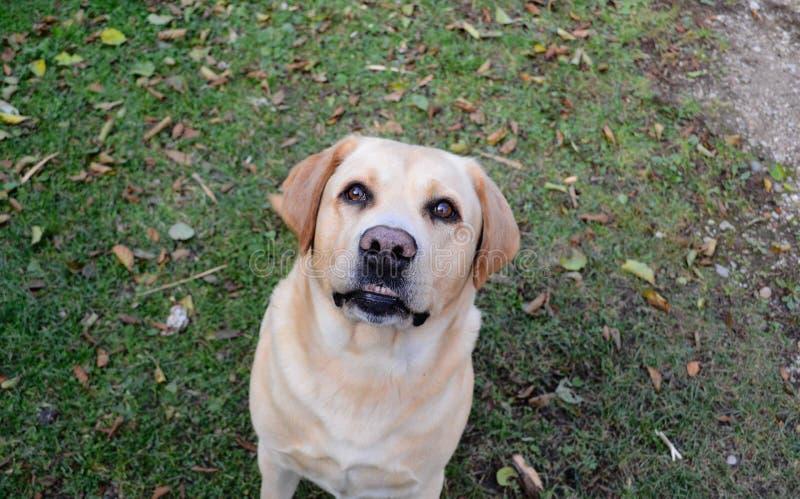 Smiley faced labrador retriever. Liepaja, Latvia stock image