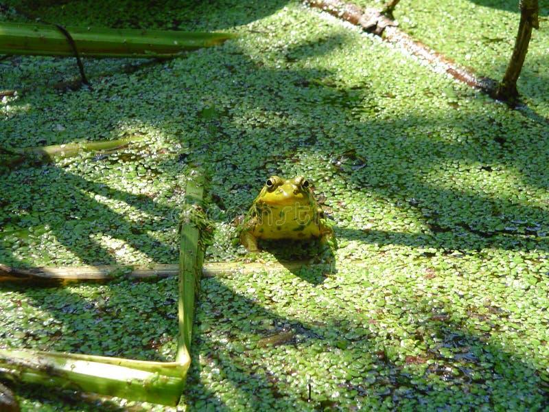 Smiley Frog stock photos