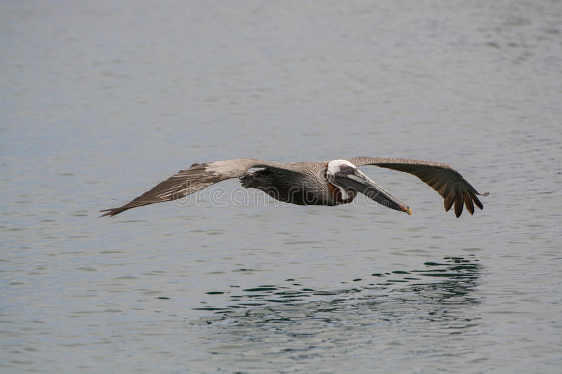 Pelican Hovering. Adult Brown Pelican hovering close to the sea in the Galapagos Islands royalty free stock photography