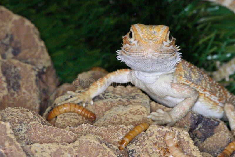 Smiley le dragon barbu central images libres de droits