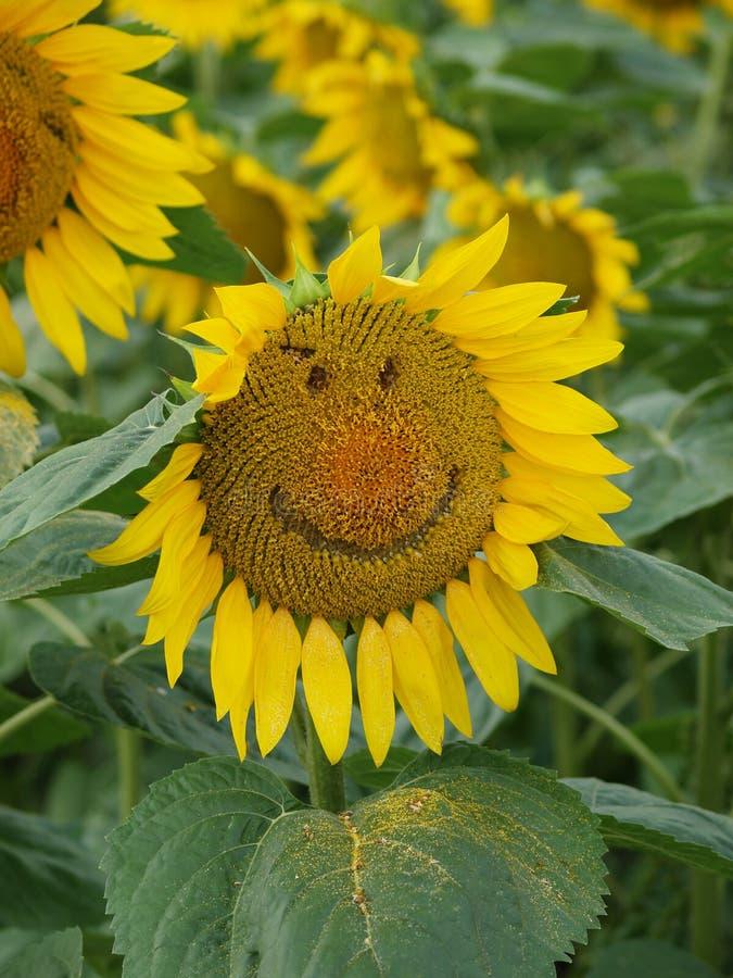 smiley słonecznik zdjęcie stock