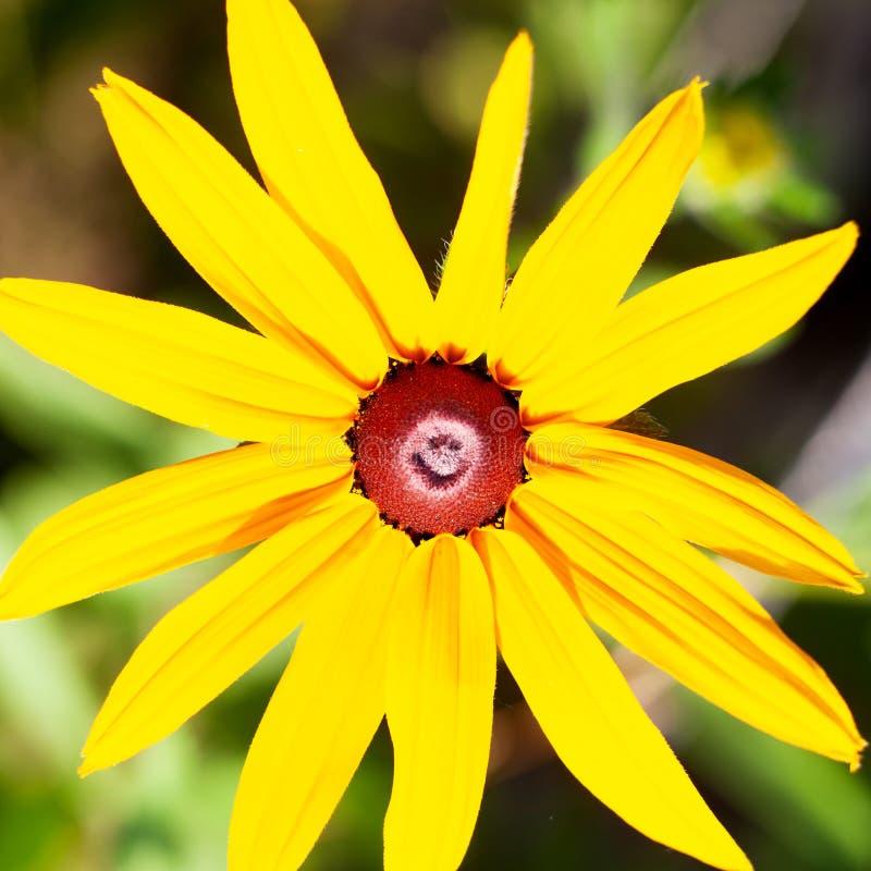 Smiley soleado amarillo con los pétalos hermosos, opinión de la flor del 'Doronicum 'de top de la manzanilla amarilla foto de archivo
