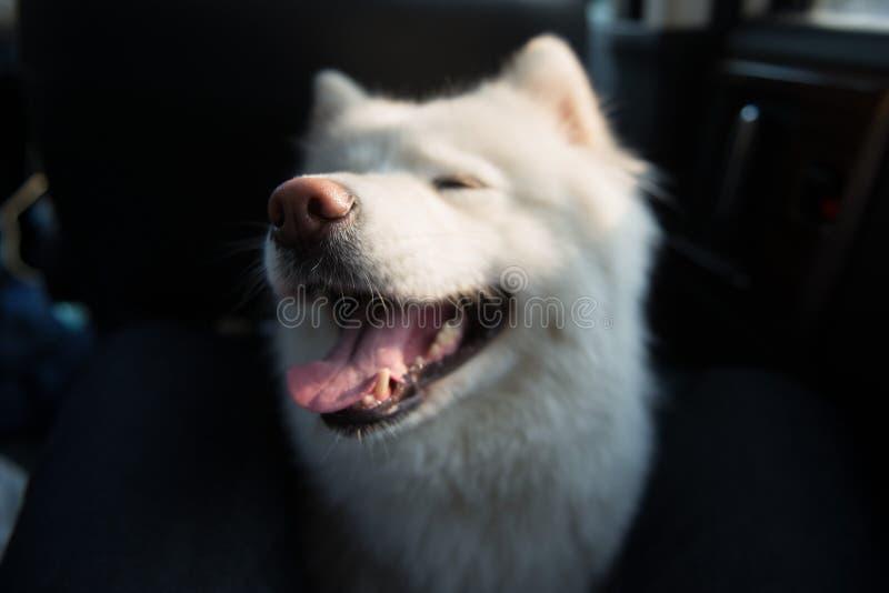 Smiling angel samoyeds. Samoyed in the car,dog white,dog,samoyed,paetner,Smiling angel stock image
