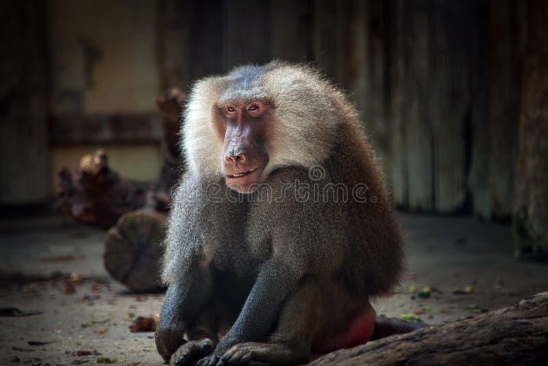 Smiling baboon stock photos