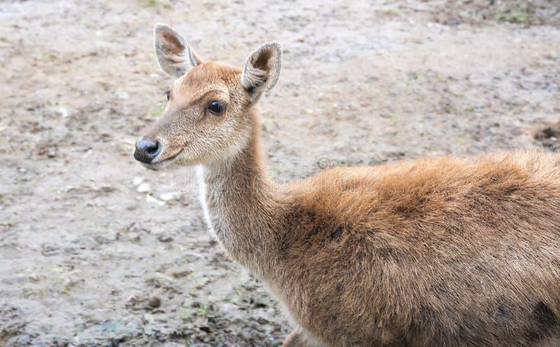 Smiling Beautiful Litte Deer on Dry Arid Terrain. Walking on Muddy Soil royalty free stock photography