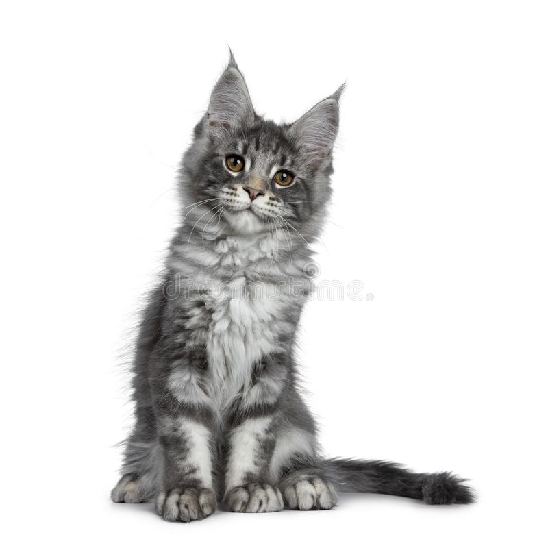 Smiling blue silver Maine Coon cat kitten on white background. Smiling blue silver Maine Coon cat kitten, sitting facing front. Looking friendly with brown eyes royalty free stock photography