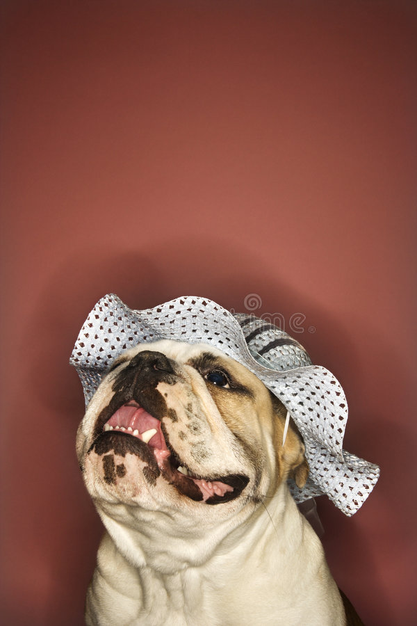 Download Smiling Bulldog Wearing A Hat. Stock Photo - Image: 2044532