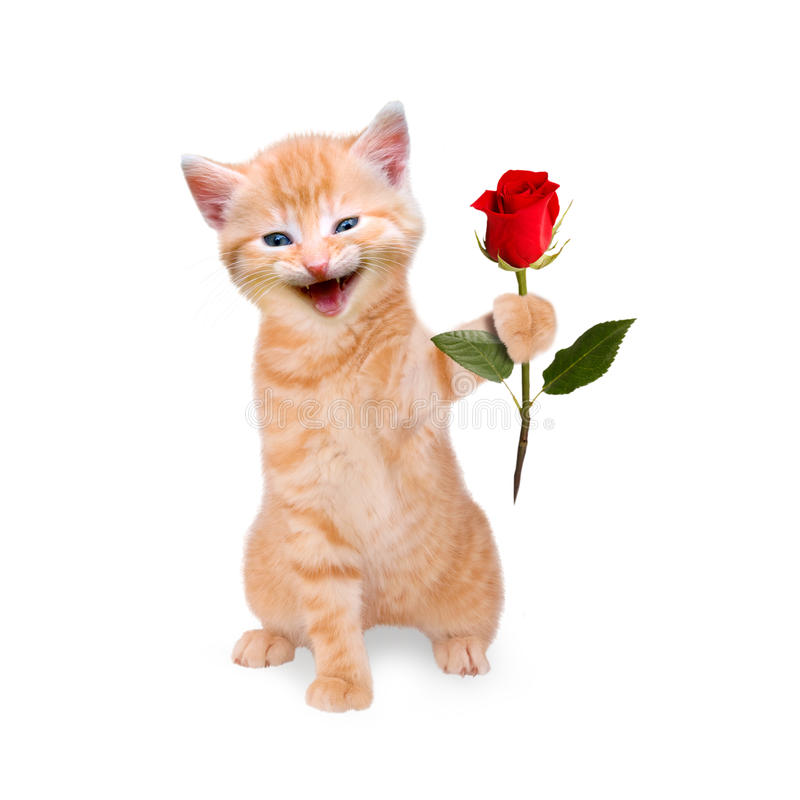 Smiling cat with red rose isolated. On white background royalty free stock photos