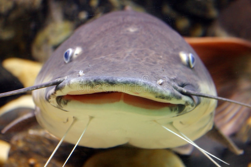 Smiling catfish. A catfish with a funny face