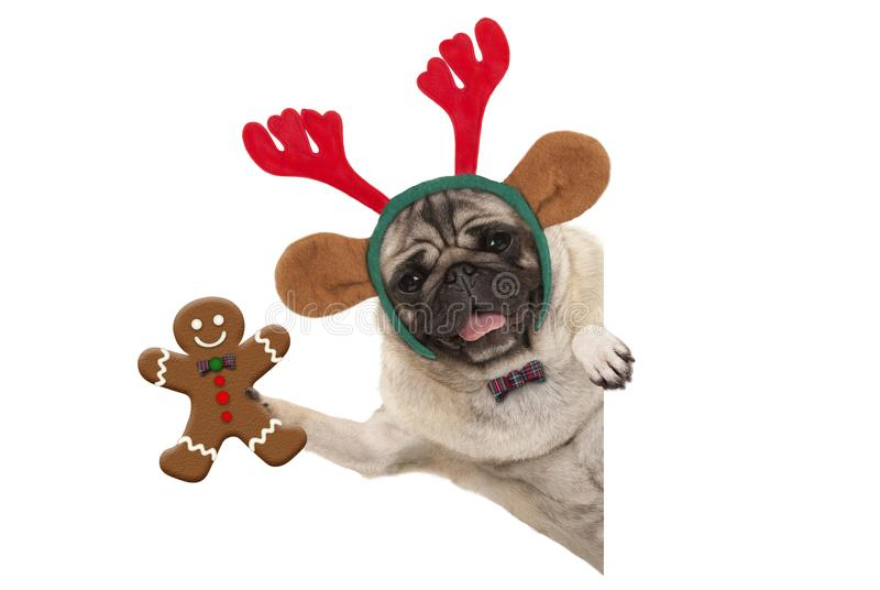 Smiling Christmas pug dog holding up gingerbread man and wearing reindeer antlers headband, with paw on white banner. Isolated royalty free stock images