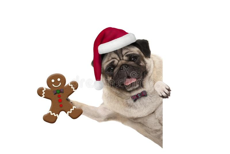 Smiling Christmas pug dog holding up gingerbread man and wearing Santa hat, with paw on white banner stock photography