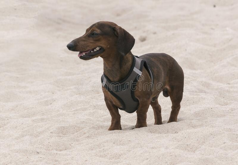 A Smiling Dachsund looks out on the Beach royalty free stock photography