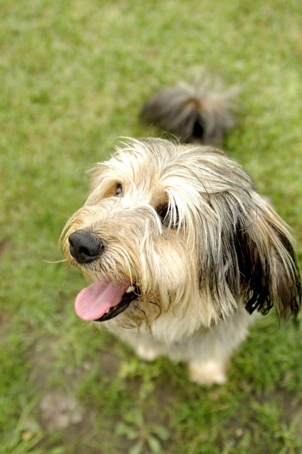 Free Smiling Dog Royalty Free Stock Photography - 1366797
