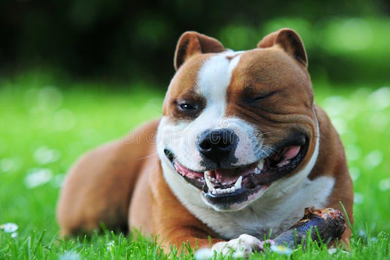 Smiling dog royalty free stock image