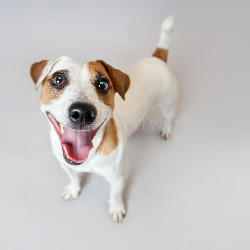 Free Smiling Dog At Studio Stock Photography - 104188472