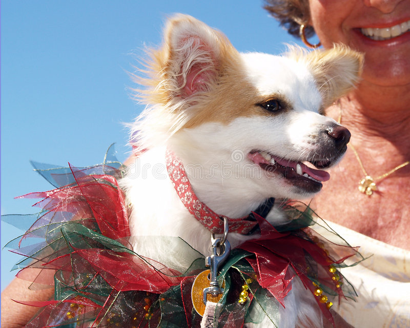 Smiling Dog In Costume. Smiling little dog in a hand made costume held by its happy owner during a dog parade royalty free stock photo