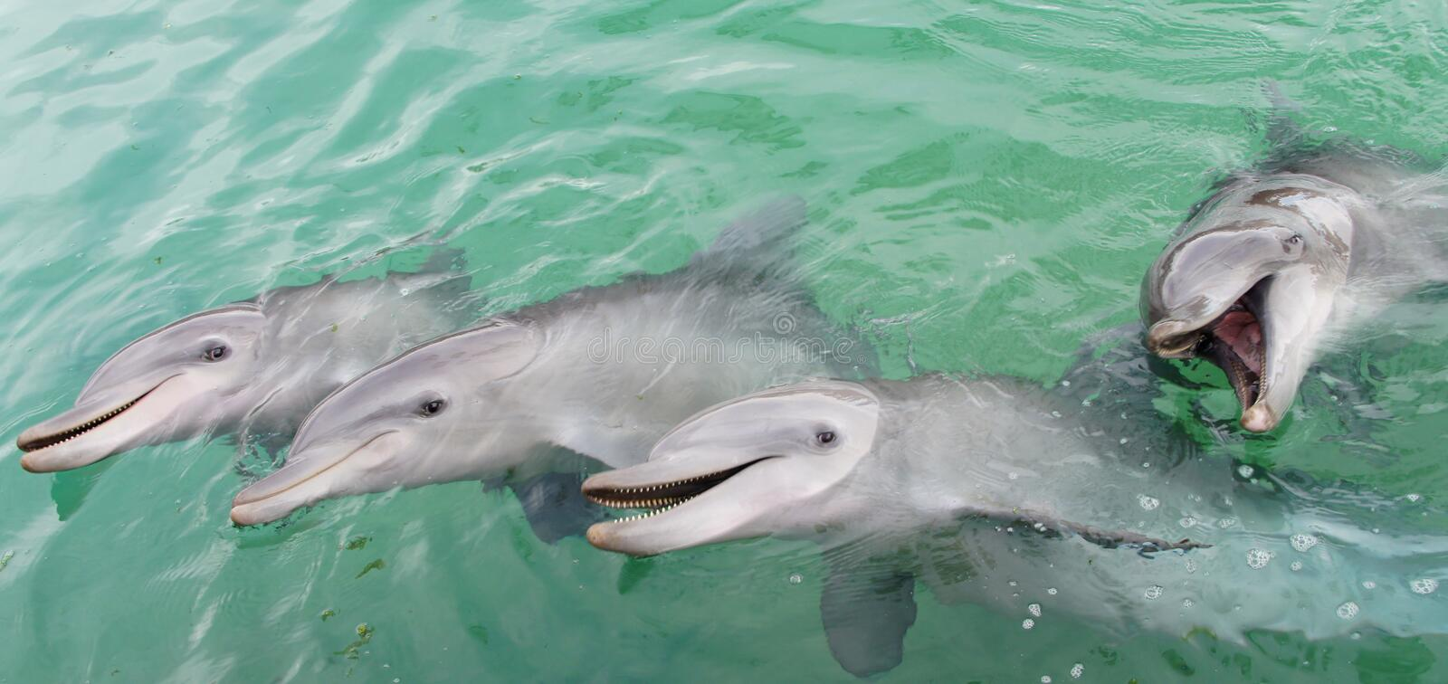 Smiling Dolphins stock photography