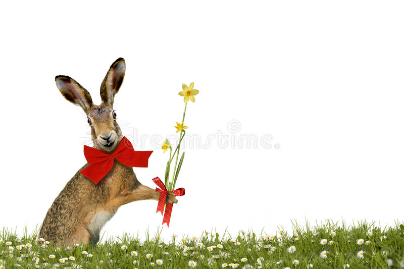 Smiling Easter Bunny with daffodils. On green meadow royalty free stock photography