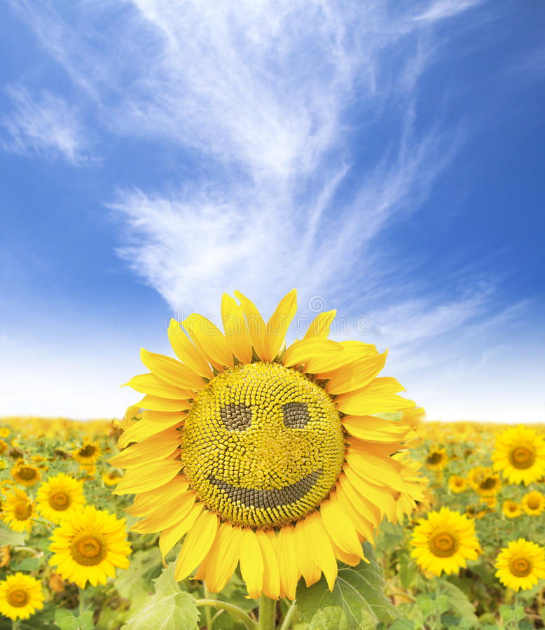 Smiling face of sunflower. At summer time royalty free stock photography
