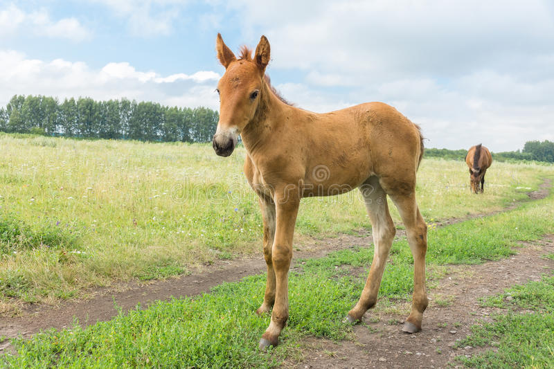 Smiling foal in the meadow. The photo depicts a smiling foal in the meadow royalty free stock photos