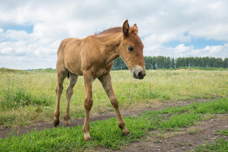 Smiling foal in the meadow. The photo depicts a smiling foal in the meadow stock photos