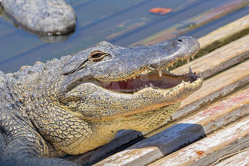 Smiling Gator In The Sun. The face of a smiling gator in the sun stock photo