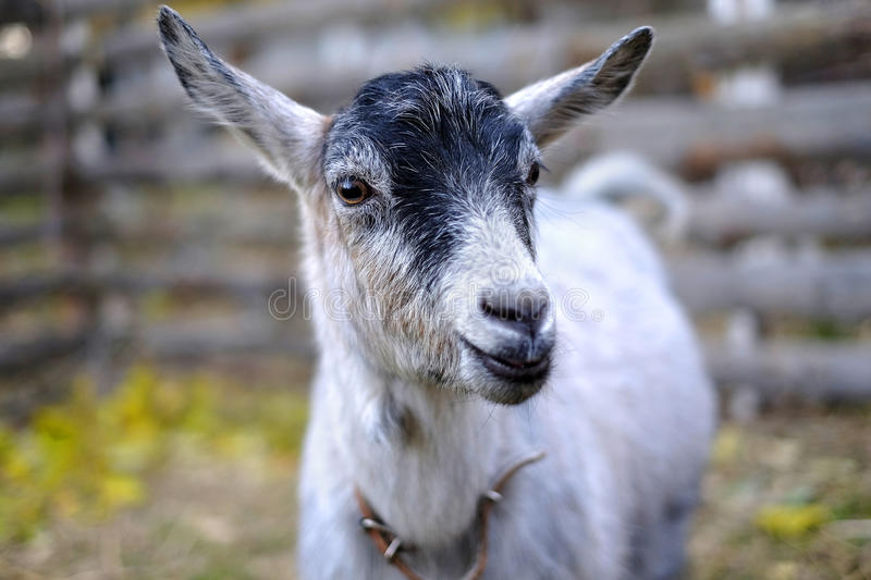 Smiling goat. stock images