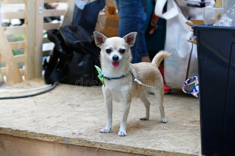 Golden Chihuahua tied on a leash stock images