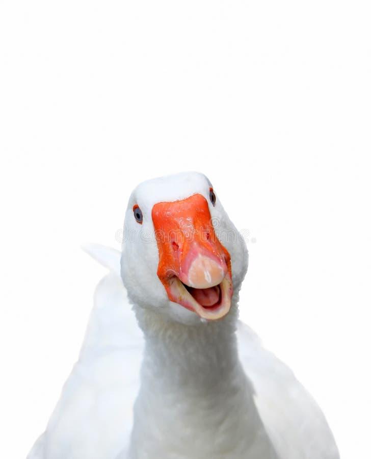 Smiling goose. Photo of white smiling goose on white background
