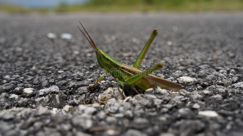 Smiling Grasshopper royalty free stock image