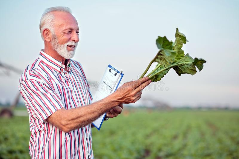 Smiling gray haired agronomist or farmer examining young sugar beet plant in field royalty free stock photos