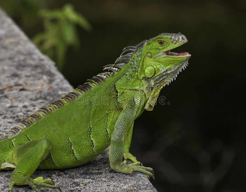 Smiling Green Iguana. Green iguana with a big smile on grey stone overlooking dark water royalty free stock images