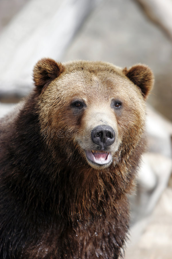 Smiling Grizzly Bear (captive setting) royalty free stock photos