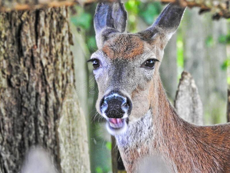 Smiling Happy White Tailed Deer Closeup Portrait royalty free stock photos