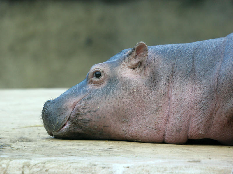 Smiling Hippo Baby royalty free stock images
