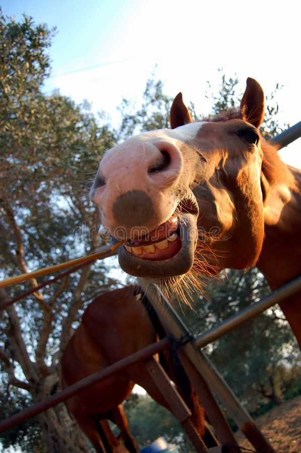 The smiling horse. stock images