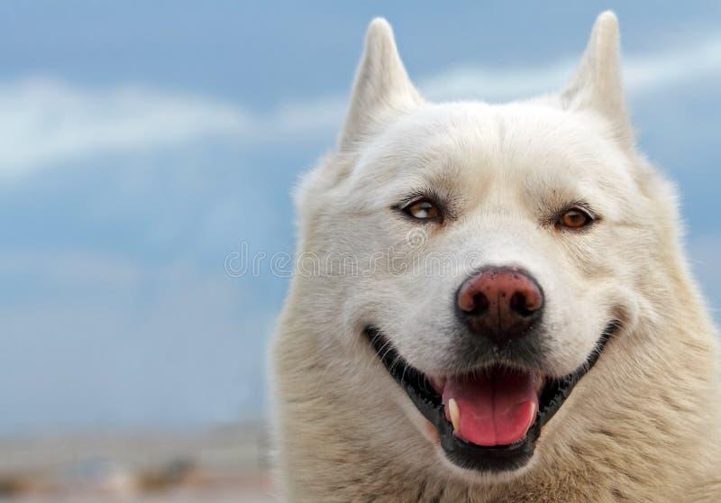 Smiling husky royalty free stock photo