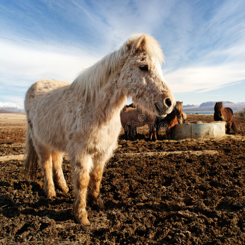 Smiling icelandic horse in a farm royalty free stock photos