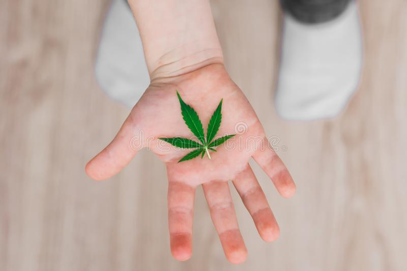 Leaf of cannabis in the hands of a kid child . Concepts of using marihuna for medicinal purposes for children royalty free stock photos