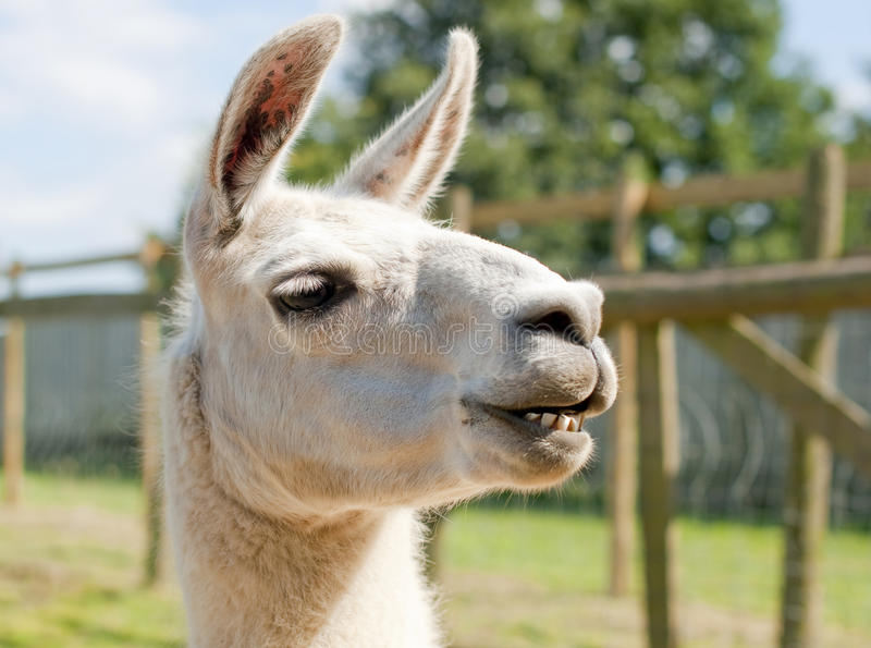 A smiling lama stock photography