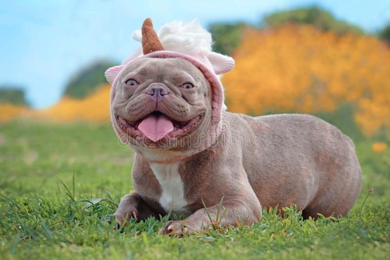 Lilac brindle colored French Bulldog dog with funny pink unicorn hat lying on ground in ront of blurry orange spring flower backg royalty free stock image