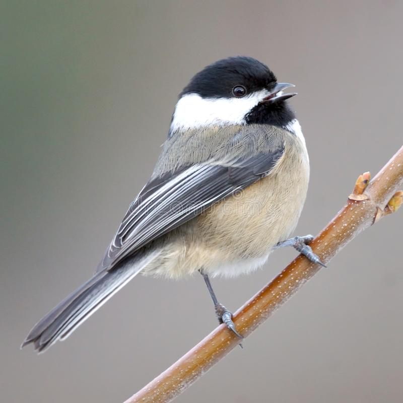 A Happy Friendly Small Cute Bird Called a Chickadee royalty free stock image