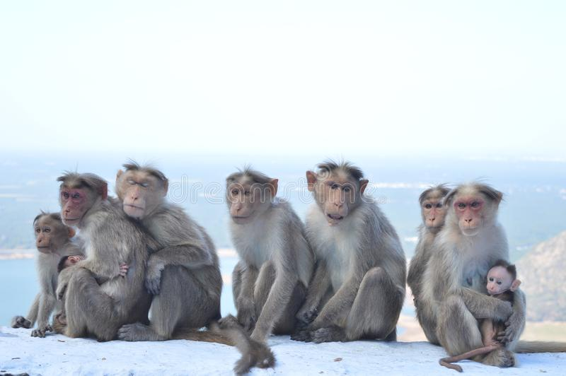 Smiling monkeys royalty free stock images